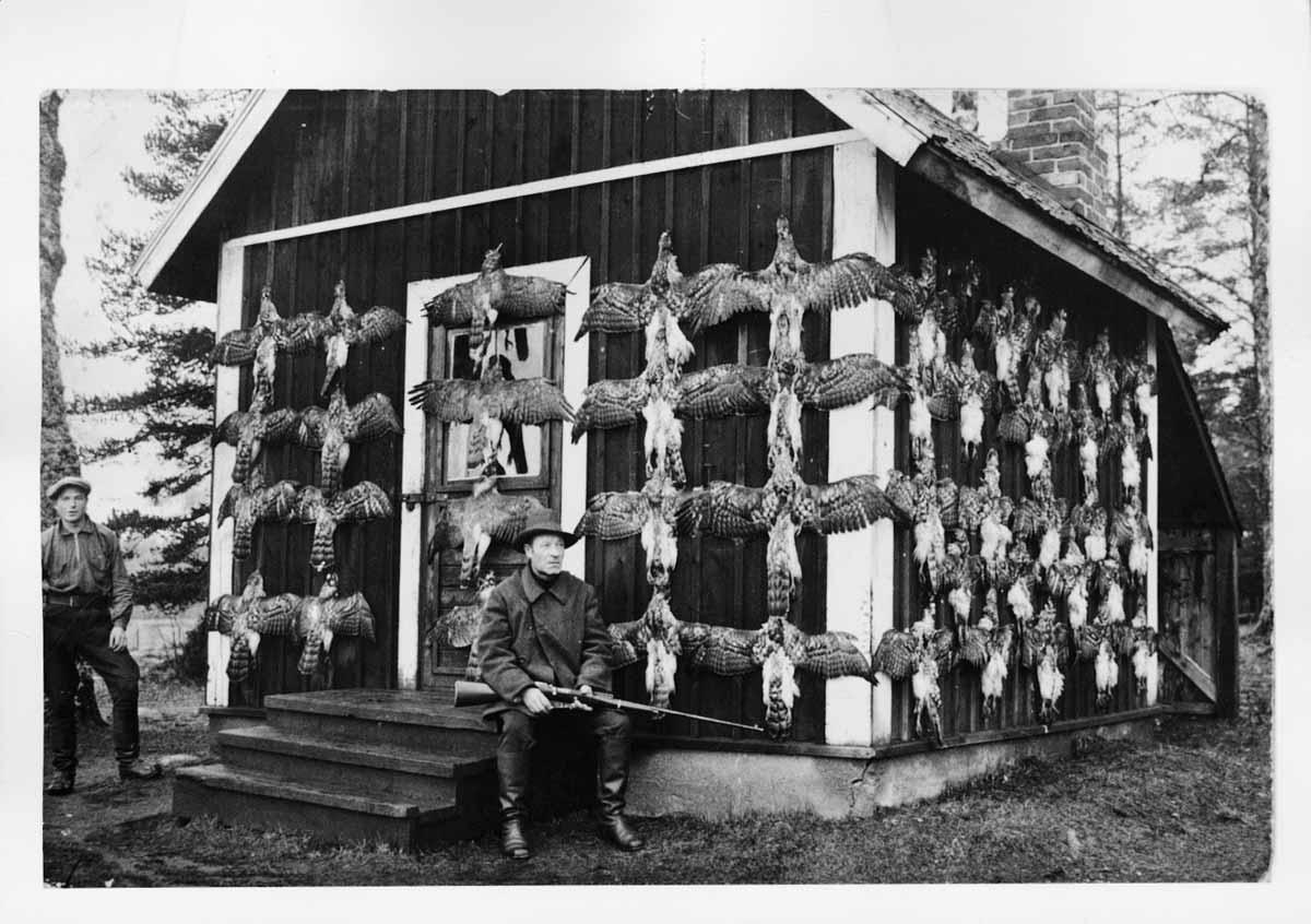 Kanahaukka kuului aiemmin hävitettäviin petoihin. Harvialassa saatiin päivässä ammuttua 55 yksilöä vuonna 1933.