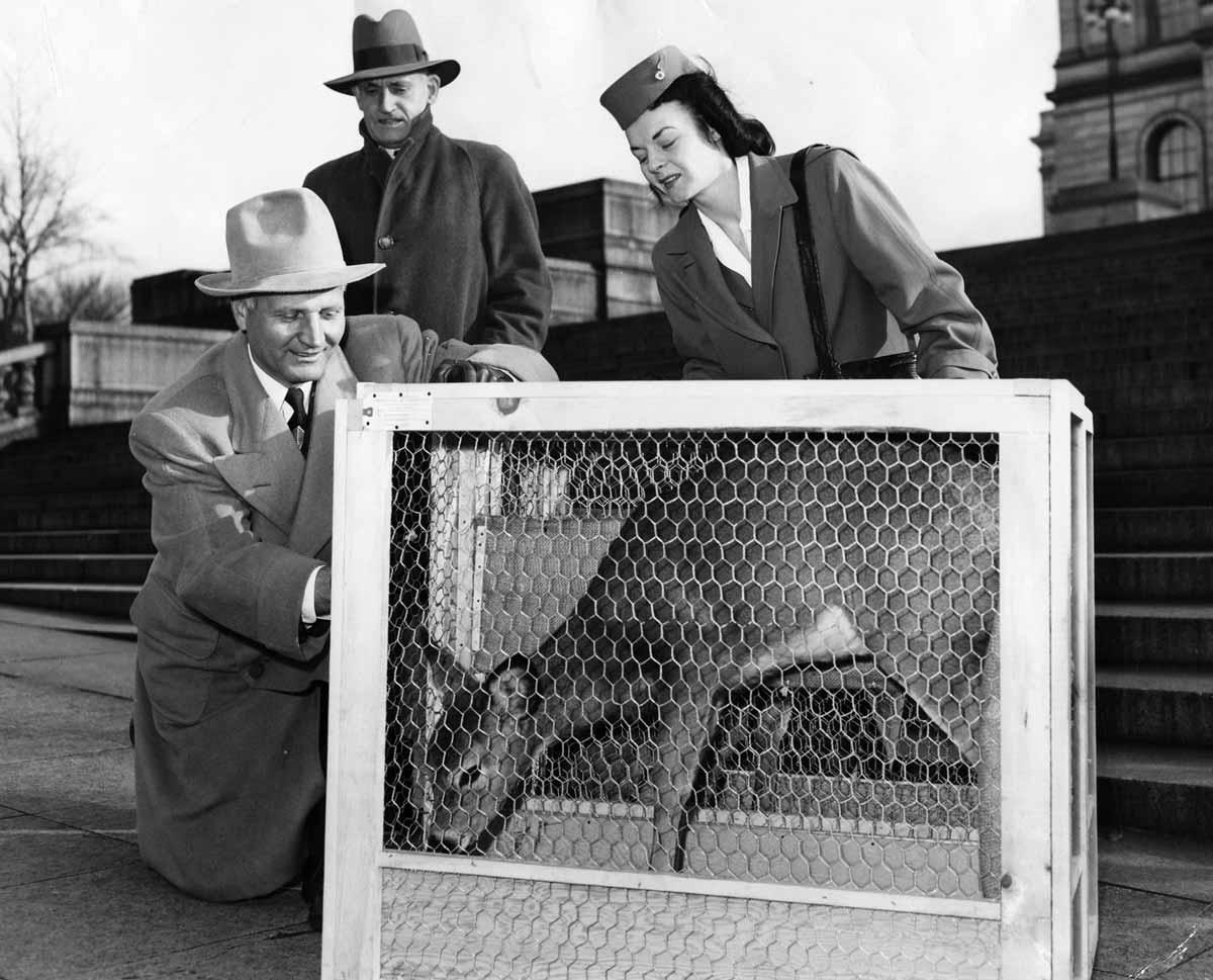 Valkohäntäpeuraa valmistellaan lennätettäväksi Suomeen Minneapolisissa vuonna 1948.