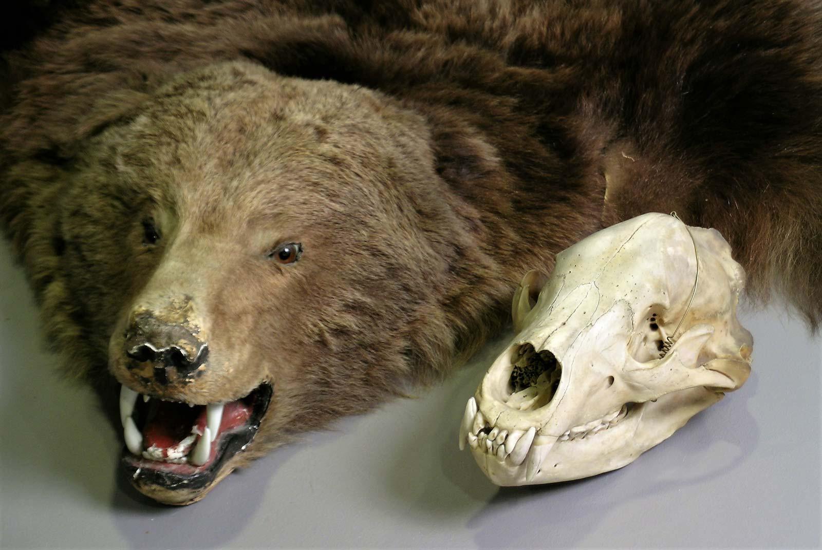 Vuonna 1929 Suistamon Loimolassa kaadetun karhun talja ja kallo.